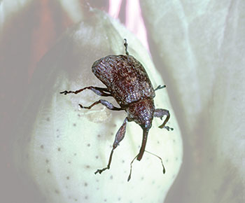 boll weevil eradication