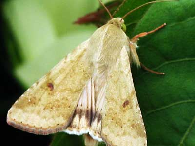 Picture of a bollworm moth (<em>Helicoverpa zea</em>): Based upon end-of-season yield mapping of cotton plants, the presence of bollworm and tobacco budworm larvae were best related to losses of fruit approximately 3 – 15 days old at the time of infestation.