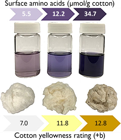 Relationship between surface amino acid content and cotton fiber color ratings, where the colors of the reacted ninhydrin solution and the cotton color visibly change as the +b rating increases