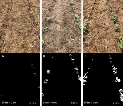 The smartphone application Canopeo can be used as a non-destructive way to objectively assess treatment effects on cotton seedling health in small-plot research trials. Shown are images analyzed using Canopeo showing